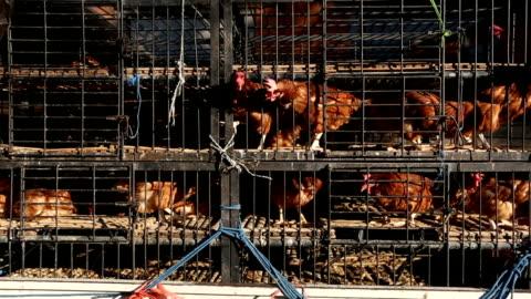 vidéos et rushes de transport de poulet dans une cage à l'étroit sur une camionnette à bali, indonésie - agriculture