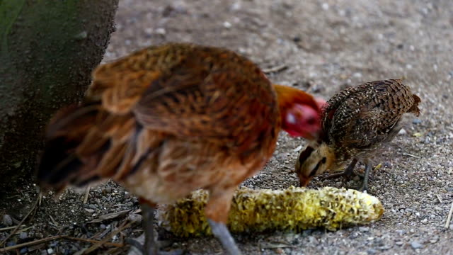 chicken - livestock stock videos & royalty-free footage
