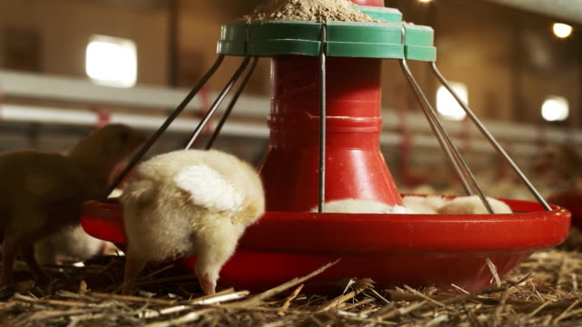chicken - poultry stock videos & royalty-free footage