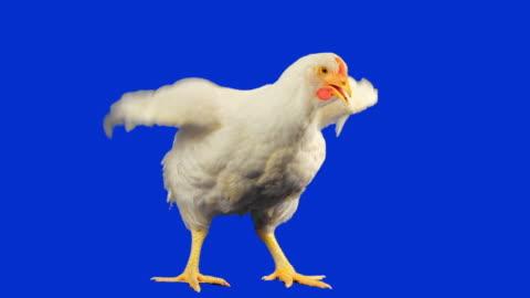 vídeos y material grabado en eventos de stock de pollo con luma matte - ave de corral