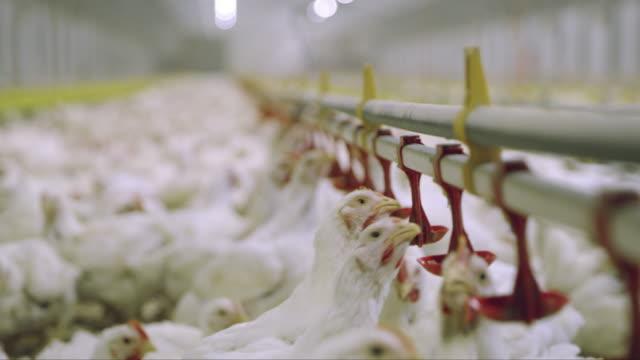 vídeos de stock e filmes b-roll de ds r/f chickens at the poultry farm - galinha ave doméstica