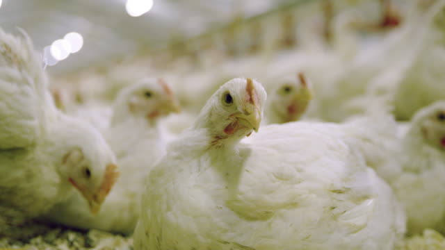 cu chickens at the poultry farm - becco video stock e b–roll