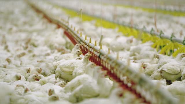 stockvideo's en b-roll-footage met ws kippen op de pluimveeboerderij - pikken
