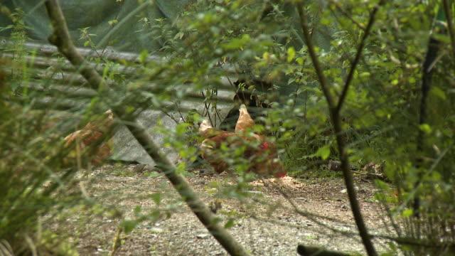 chickens behind bushes - brustwarze stock-videos und b-roll-filmmaterial