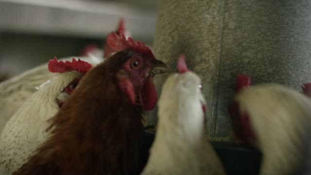 chickens peck for food - pen stock videos and b-roll footage