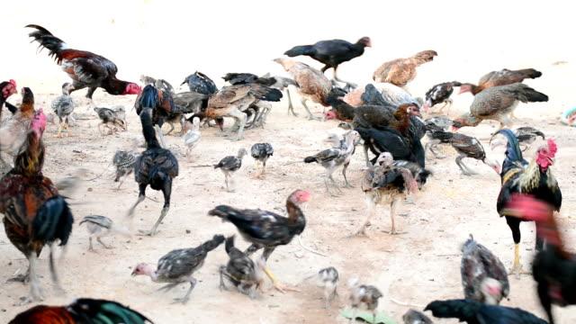 vídeos de stock e filmes b-roll de galinhas comer - galinha fêmea de animal