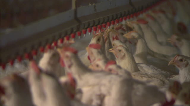 HA Chickens feeding from poultry drinkers / Rhodesdale, Maryland, United States