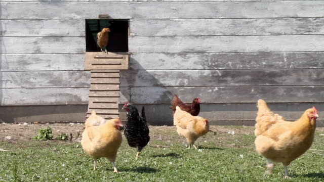 ws, chickens feeding in front of coop, joliet, illinois, usa - livestock stock videos & royalty-free footage