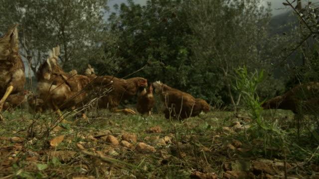 stockvideo's en b-roll-footage met slo mo chickens (gallus gallus) feeding on seed in garden, spain - pikken