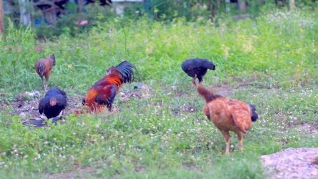 Hühner im Garten grasen.