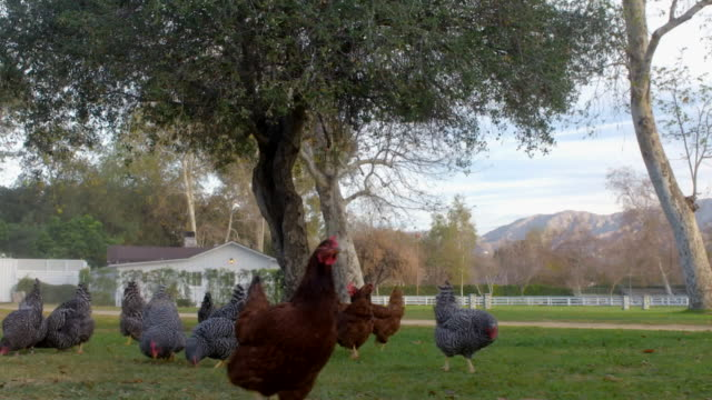 DS Chickens grazing on a farm / Los Angeles, California, United States