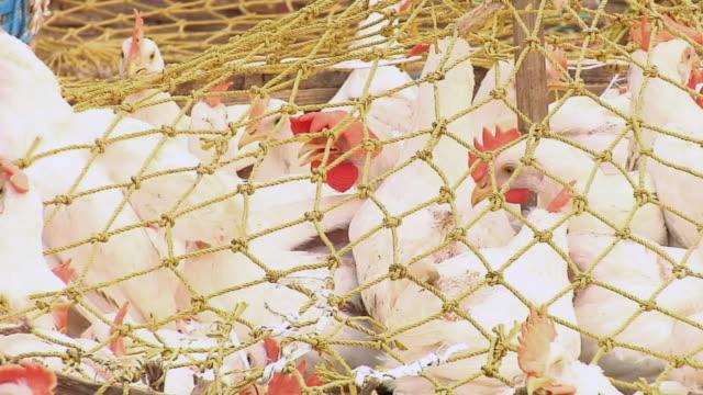 ECU Chickens in baskets / Kolkata, West Bengal, India
