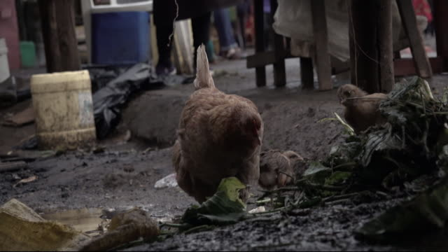 stockvideo's en b-roll-footage met chickens in nairobi market - foerageren