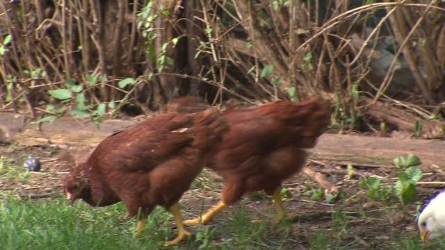 stockvideo's en b-roll-footage met chickens pecking around an urban backyard in chicago on july 12, 2015. - pikken