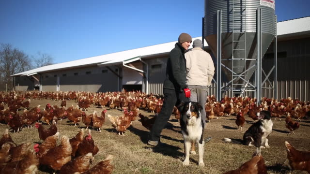 chickens roam inside a barn at dutch creek farms in pleasureville, kentucky, u.s., on wednesday, january 8, 2020. dutch creek farms raises and sells... - organic farm stock videos & royalty-free footage