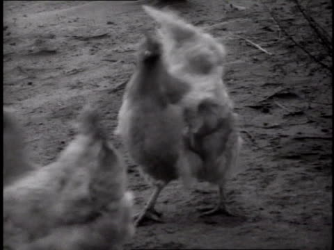 chickens running for shelter beneath wagon as wind rises ruffling their feathers may 3 1937 / dalhart texas usa - 1937 stock videos and b-roll footage