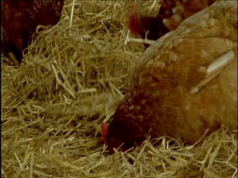 chickens scratch and forage in straw - paglia video stock e b–roll