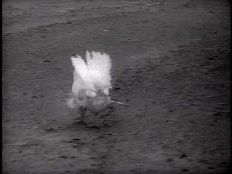 vídeos y material grabado en eventos de stock de chickens strutting and running in dusty farmyard on may 3, 1937 / dalhart, texas, usa - paso largo