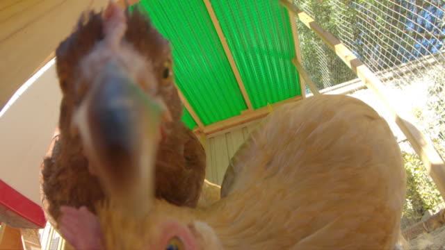 stockvideo's en b-roll-footage met kippen - hen