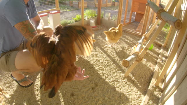 chickens - poultry stock videos & royalty-free footage