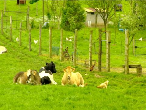 Chickens walk alongside grazing cows lying in green field Calais