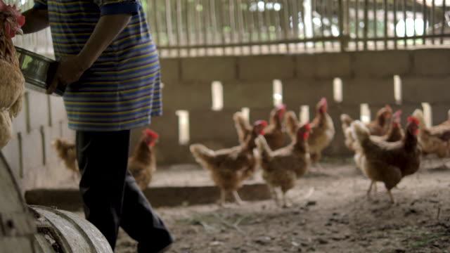 chickens walk around a coop - chicken coop stock videos & royalty-free footage