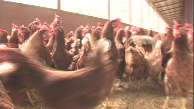 chickens walk on the straw covered floor of a farm pen. - 家畜点の映像素材/bロール