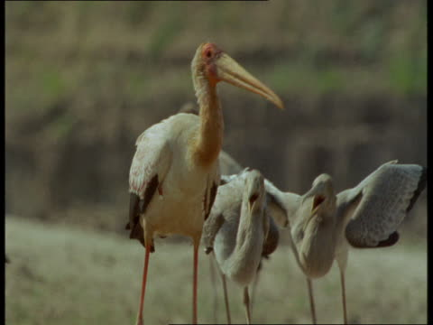 Chicks beg for food while they follow an adult stork in Zambia.