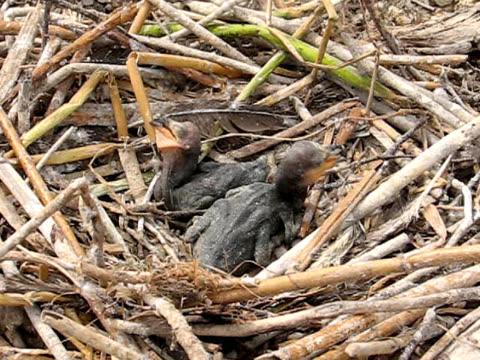 vidéos et rushes de poussins dans nest - petit groupe d'animaux