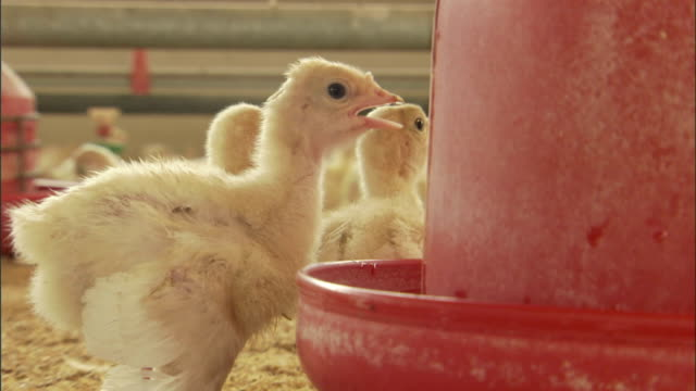 chicks stand in front of a feeder at a poultry farm. - middle east stock videos & royalty-free footage