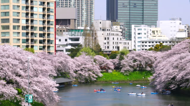 chidorigafuchi moat surrounded by full-bloomed cherry blossoms and center area of tokyo cityscape. there are many boats on the moat. - moat stock videos and b-roll footage