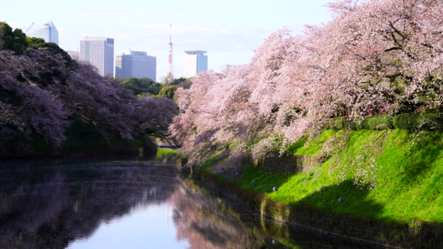 Chidorigafuchi Moat surrounded by full-bloomed Cherry blossoms trees in the Morning. Tokyo Tower and skyscrapers of Kasumigaseki Administrative District of Japan can be seen behind moat. Rows of Cherry blossoms trees reflect to calm water surface.