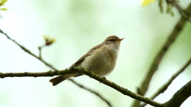 Chiffchaff singen in einem Baum