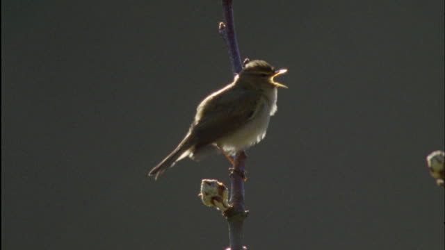 chiffchaff (phylloscopus collybita) sings during dawn chorus, forest of dean, uk - perching stock videos & royalty-free footage