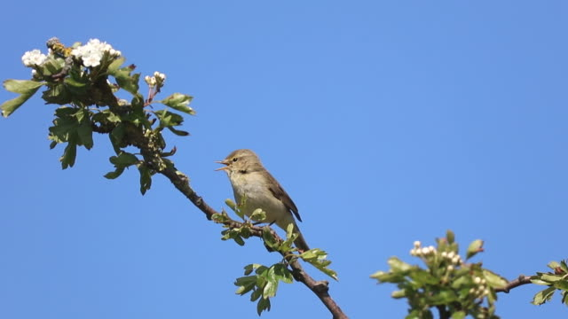 chiffchaff (phylloscopus collybita) - warbler stock videos & royalty-free footage