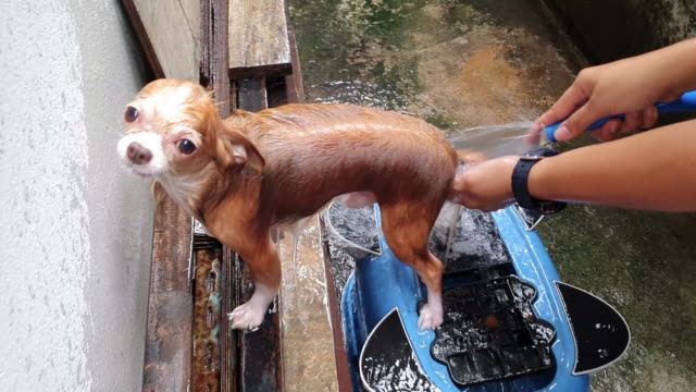 chihuahua bathing - shampoo stock videos & royalty-free footage