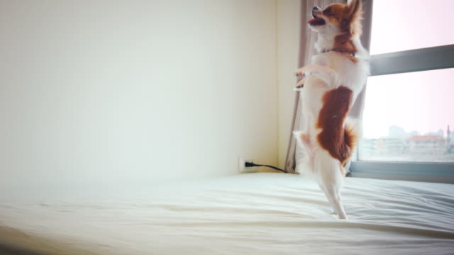 chihuahua dances - pleading stock videos & royalty-free footage