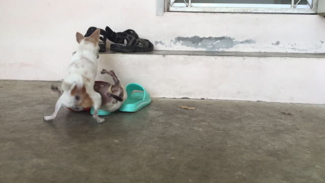chihuahua hund greift schwachen chihuahua hund - aggression stock-videos und b-roll-filmmaterial