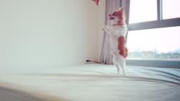Chihuahua dog dancing