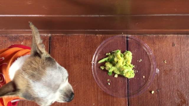 vídeos de stock, filmes e b-roll de chihuahua cão comendo maçã - orgânico
