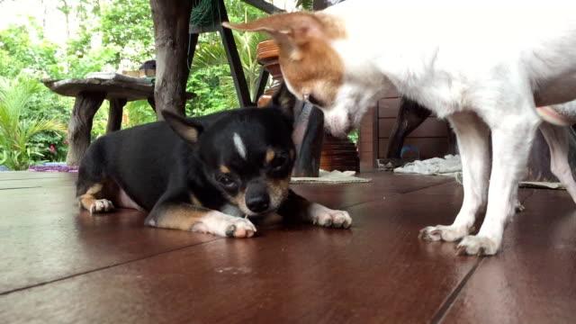 Chihuahua Hund Essen fishbone