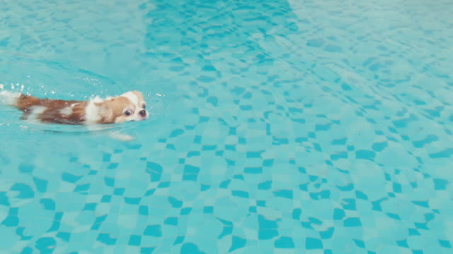 chihuahua dog enjoy swimming in pool - galleggiare sull'acqua video stock e b–roll