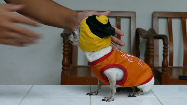 Chihuahua Hund Mode