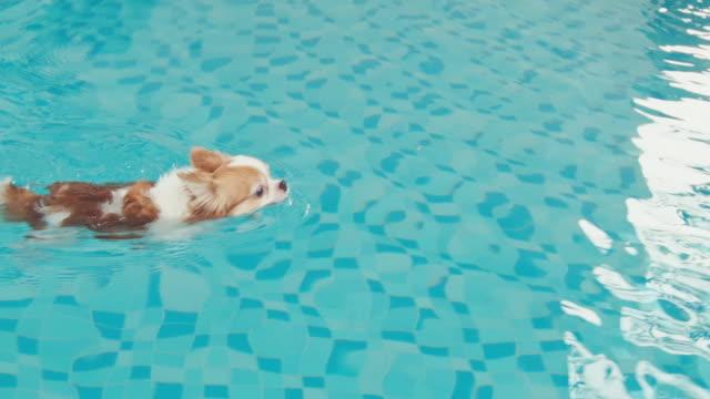Chihuahua Hund schwimmt auf Wasser