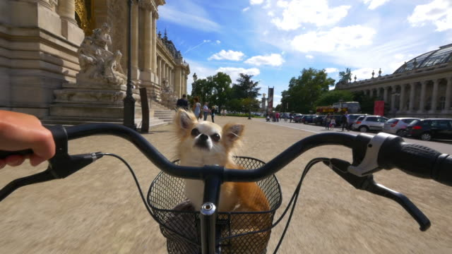 MS Chihuahua dog in basket of bicycle being ridden through Paris