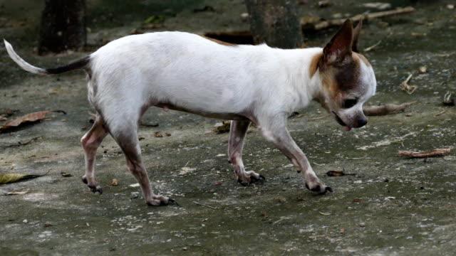stockvideo's en b-roll-footage met chihuahua hond in park - gehoorzaamheid