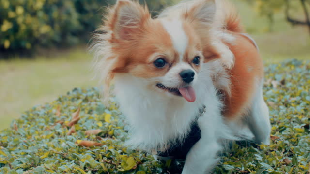 chihuahua dog in park - pampered pets stock videos and b-roll footage