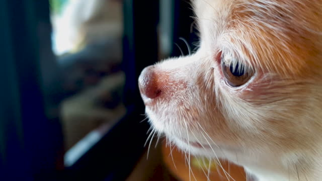 chihuahua dog looking out of window - nose stock videos & royalty-free footage