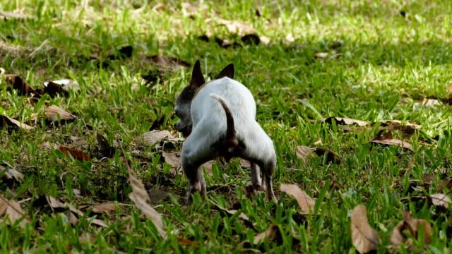 vídeos de stock, filmes e b-roll de cachorro chihuahua fazendo um cocô na grama - proibido
