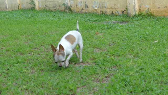 chihuahua dog making a poop on grass - chihuahua dog stock videos and b-roll footage